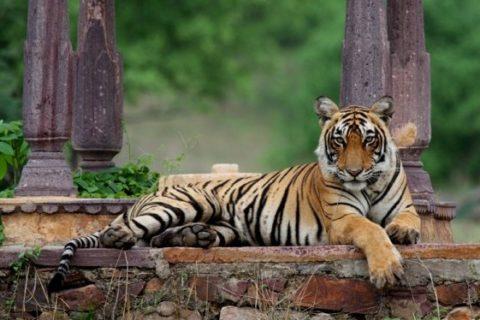 Trianguló de Oro con Tigre
