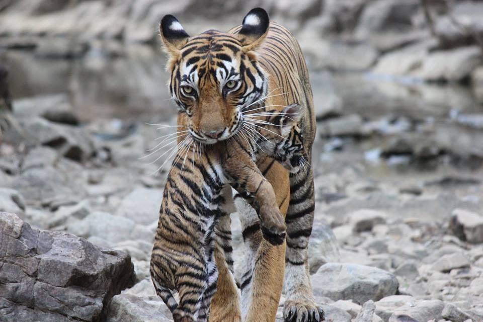 Viaje Safari de los Tigres India